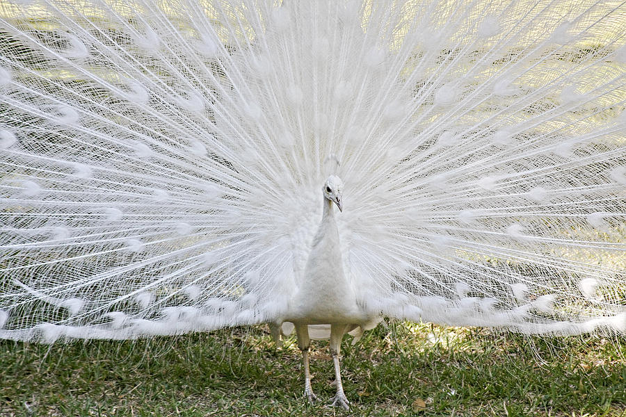 White Peacock - Fountain Of Youth Photograph  - White Peacock - Fountain Of Youth Fine Art Print