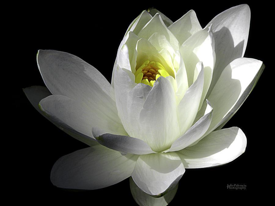 White Petals Aquatic Bloom Photograph