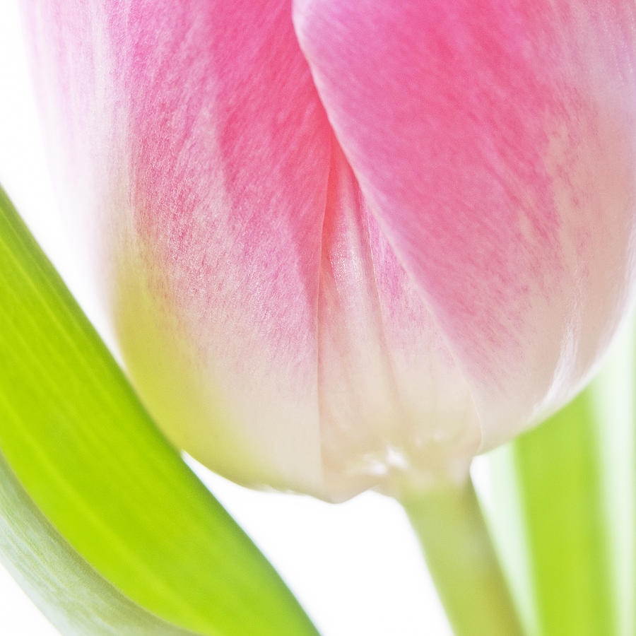 Abstract Photograph - White Pink Green Flower Abstract - Spring Tulip Flowers - Digital Painting - Fine Art Photograph by Artecco Fine Art Photography