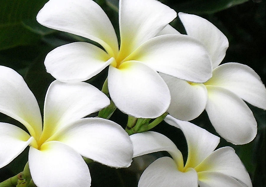 White Plumeria Photograph by James Temple