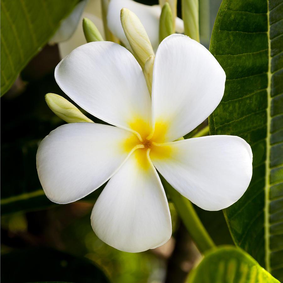White Plumeria Photograph by Kelley King