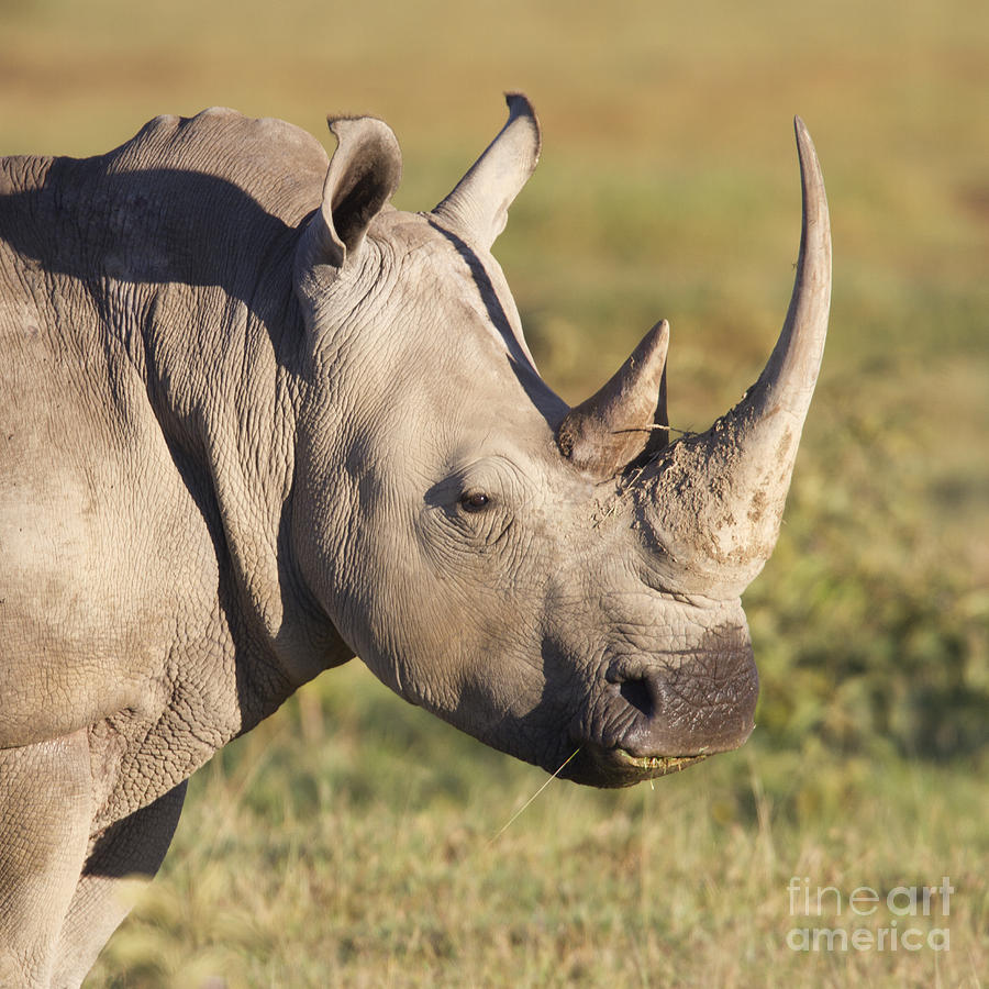 White Rhino Portrait Photograph
