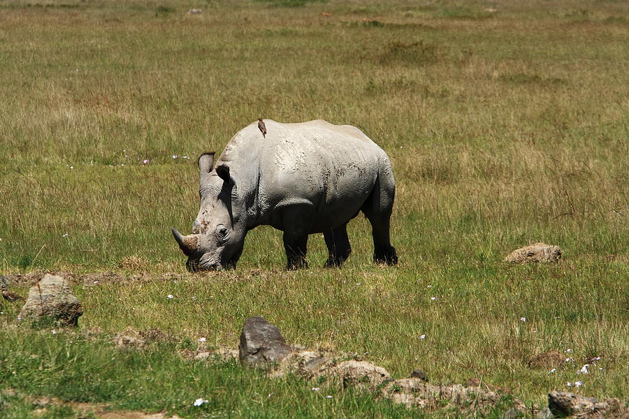 White Rhinoceros Calf Photograph  - White Rhinoceros Calf Fine Art Print