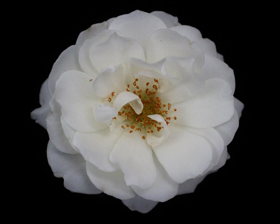 Rose Photograph - White Rose 2 by Carol Welsh