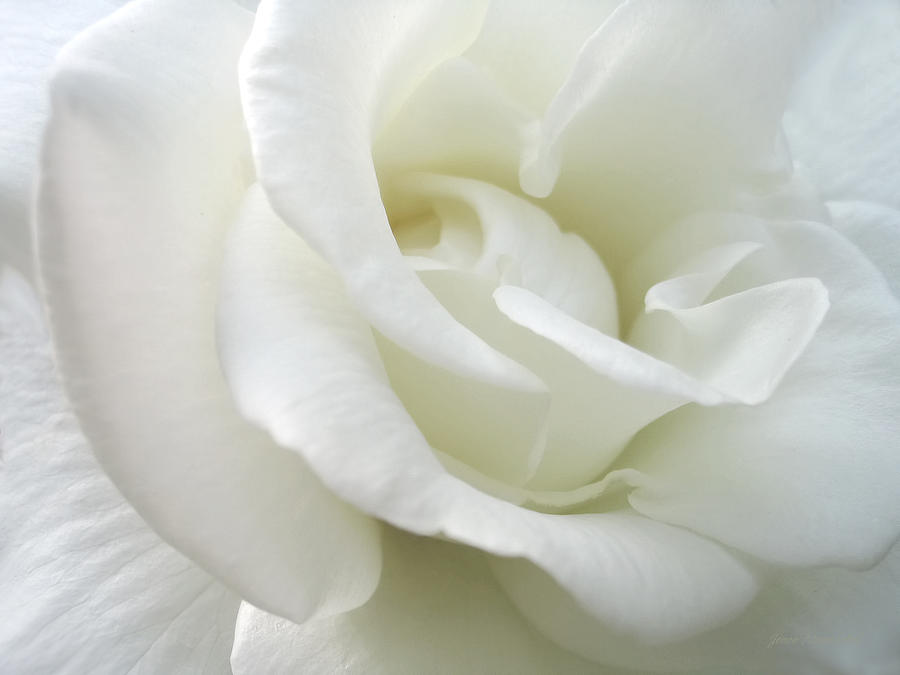White Rose Angel Wings Photograph