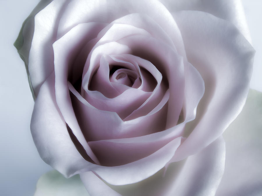 White Rose Flower Closeup - Flower Photograph Photograph