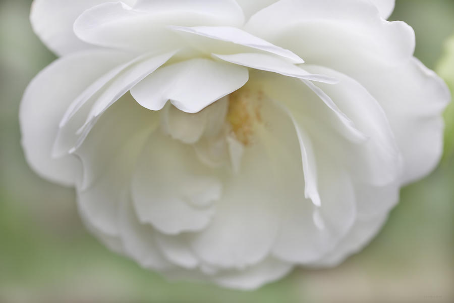 White Rose Flower Softness Photograph  - White Rose Flower Softness Fine Art Print