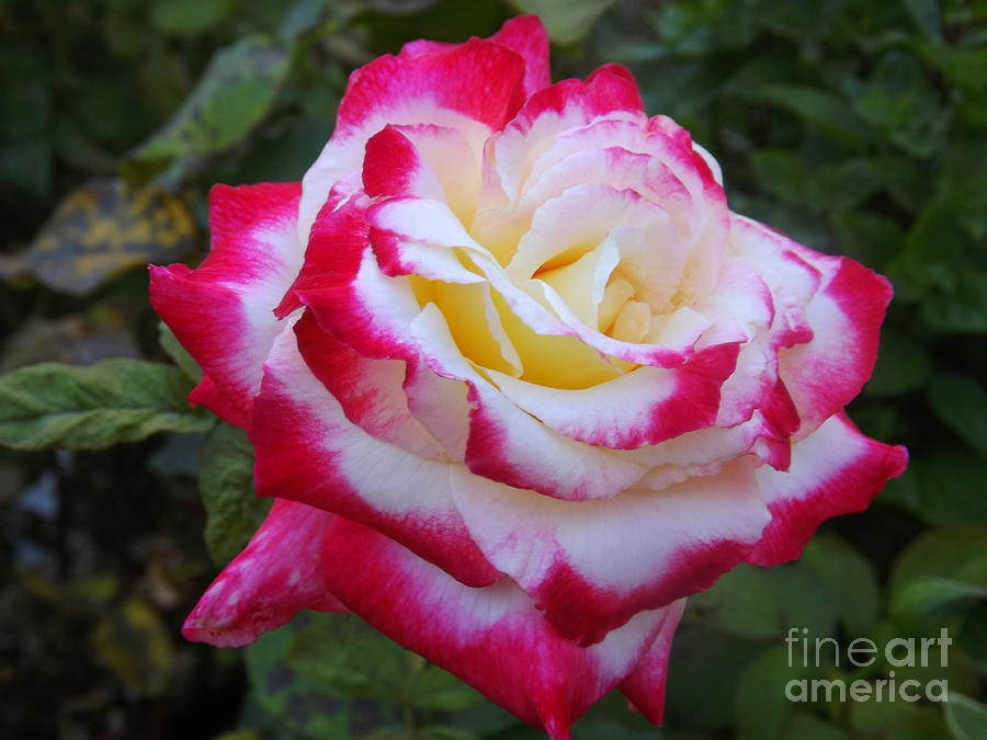 rose with withe - photo #30