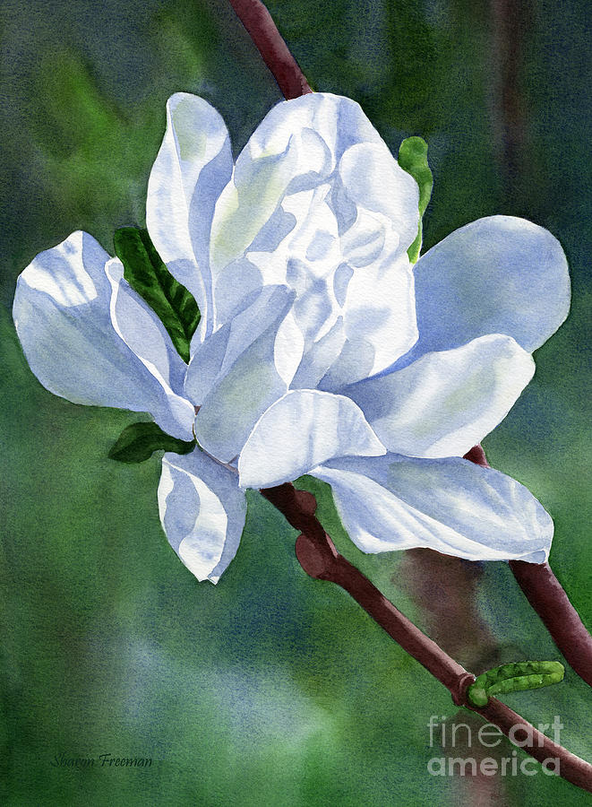 White Star Magnolia Blossom With Background Painting by ...