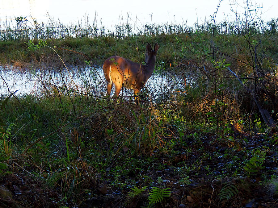 White Tail Doe Feeding  Photograph  - White Tail Doe Feeding  Fine Art Print