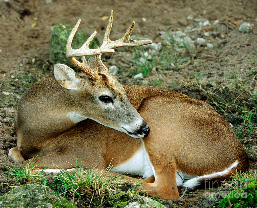 Fauna Photograph - White-tailed Deer Odocoileus Virginianus by Millard H. Sharp