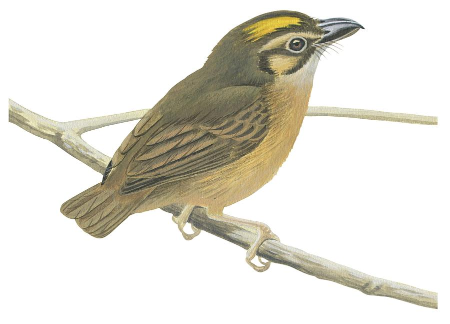 Branch; No People; Horizontal; Full Length; White Background; One Animal; Wildlife; White-throated Spadebill; Platyrinchus Mystaceus; Perching; Zoology Drawing - White Throated Spadebill by Anonymous