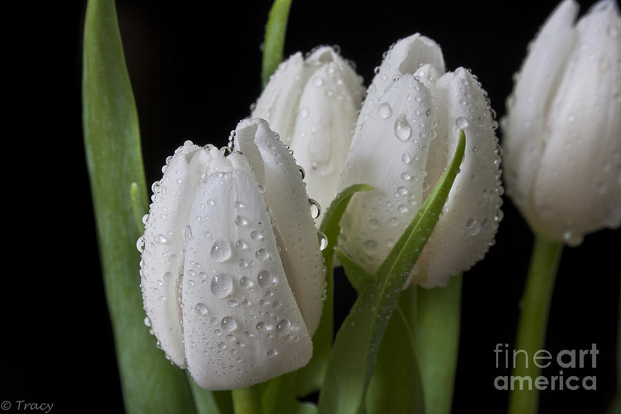 Tulips Photograph - White Tip Tulips  by Tracy  Hall