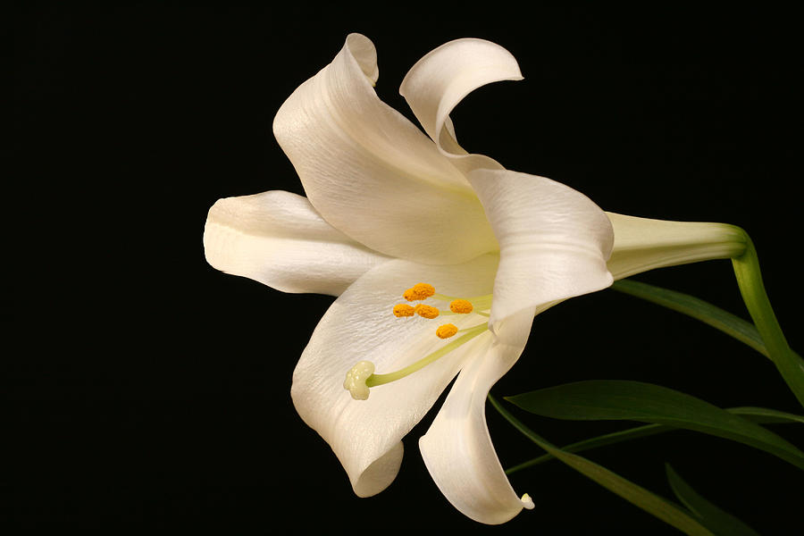 Lily Photograph - White Trumpet by Doug Norkum