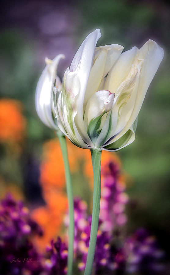 White Tulip Splash Of Color Photograph  - White Tulip Splash Of Color Fine Art Print