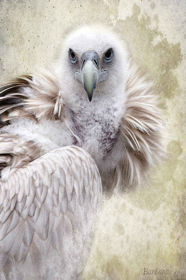 Vulture Photograph - White Vulture  by Barbara Orenya