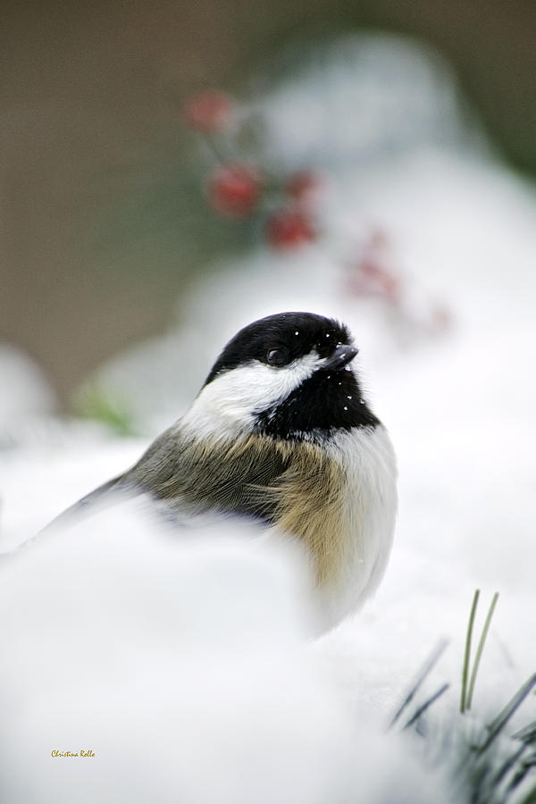 White Winter Chickadee Photograph  - White Winter Chickadee Fine Art Print