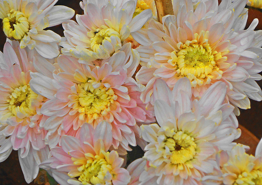 White Yellow Chrysanthemum Flowers Photograph  - White Yellow Chrysanthemum Flowers Fine Art Print