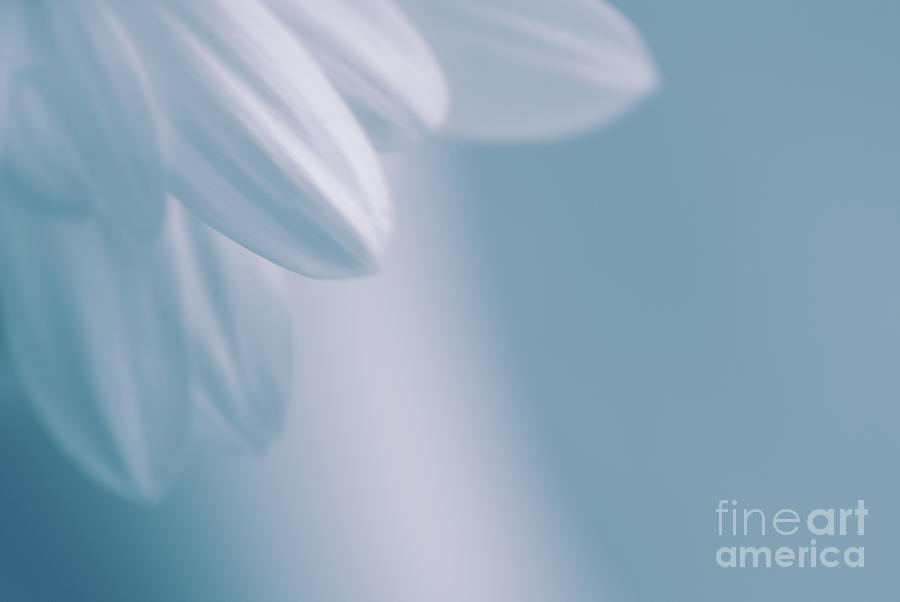 Daisy Photograph - Whiteness 02 by Aimelle
