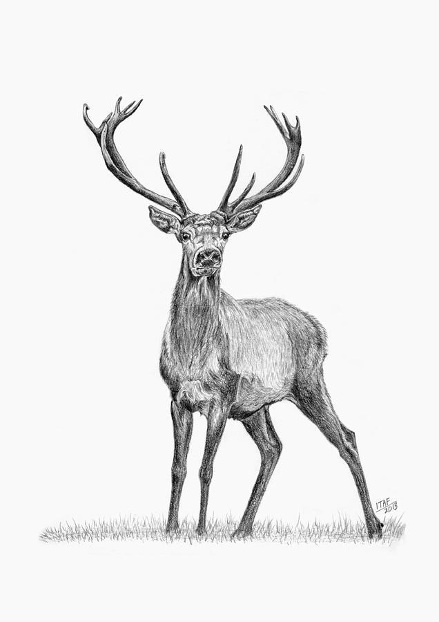 Whitetail deer drawing