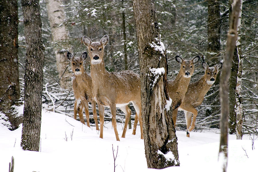 White-tailed Deer Photograph - Whitetail Deer Odocoileus Virginianus by Gregory K Scott