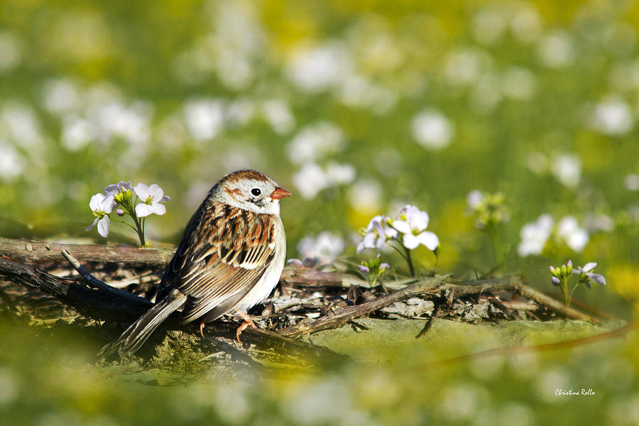 Wild Birds - Field Sparrow Photograph  - Wild Birds - Field Sparrow Fine Art Print