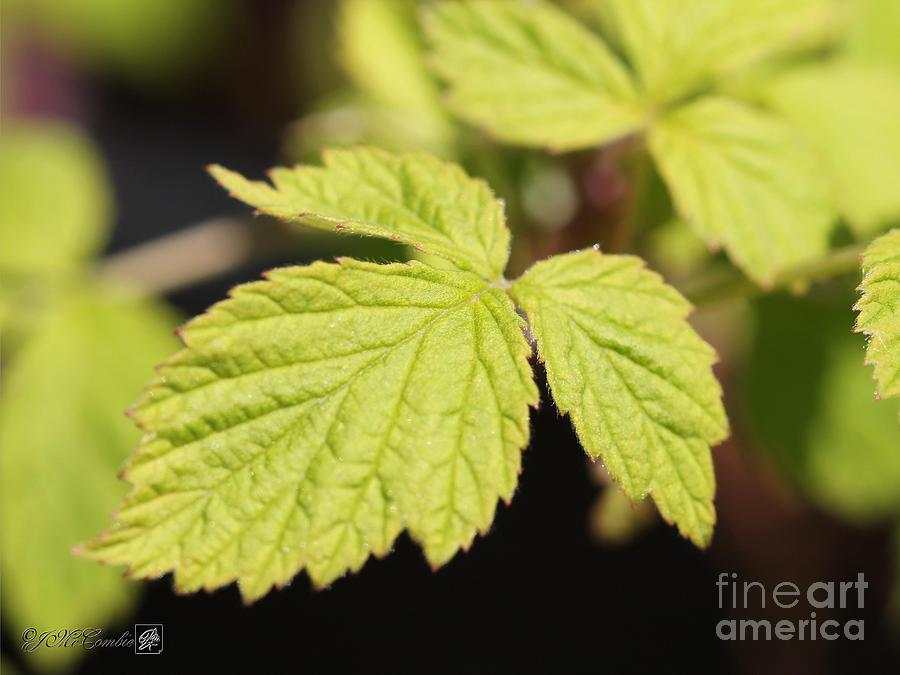 Wild Black Raspberry Leaves Photograph