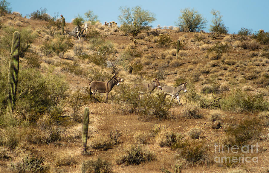 Burro Photograph - Wild Burros by Robert Bales