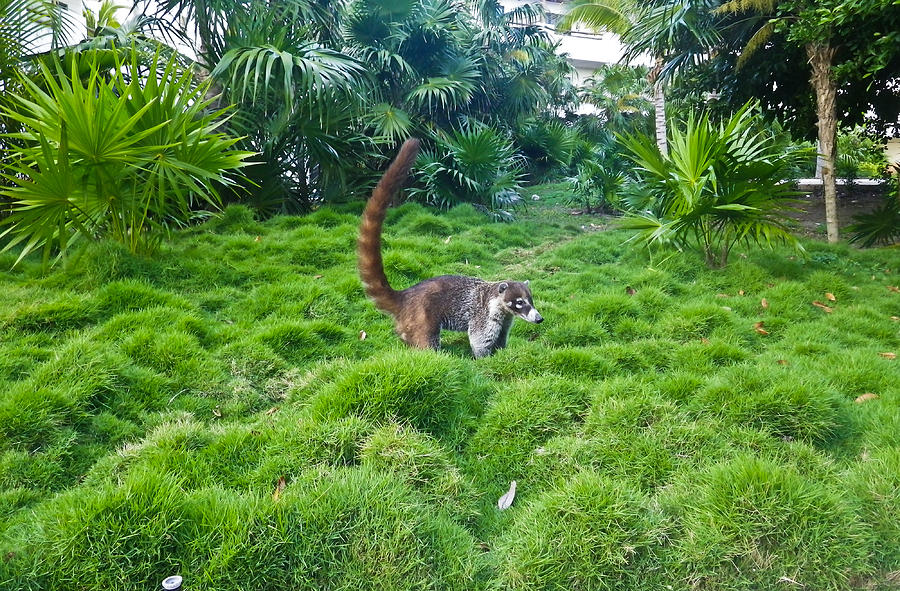 Wild Coati Photograph