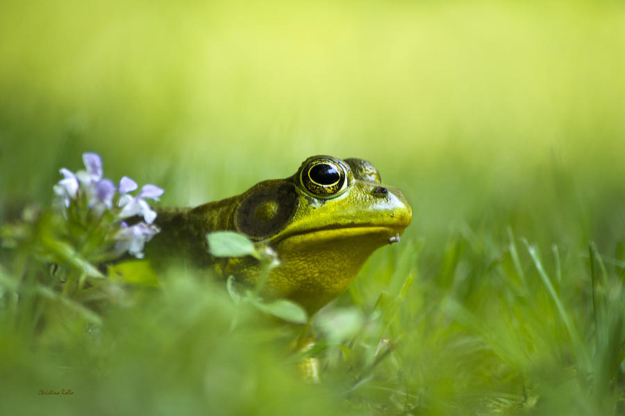 Frogs Photograph - Wild Green Frog by Christina Rollo