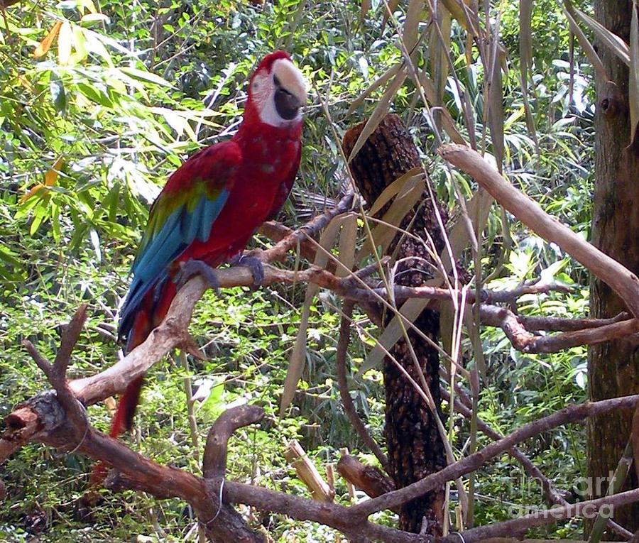 Wild Hawaiian Parrot  Photograph
