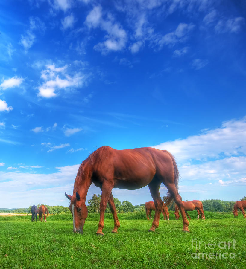 Wild Horse On The Field Photograph  - Wild Horse On The Field Fine Art Print