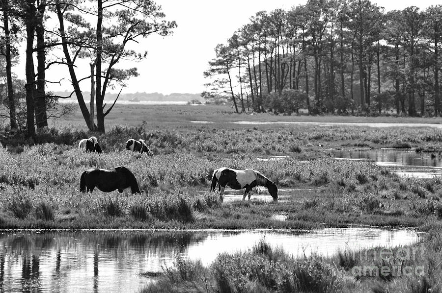 Wild Horses Of Assateague Feeding Photograph