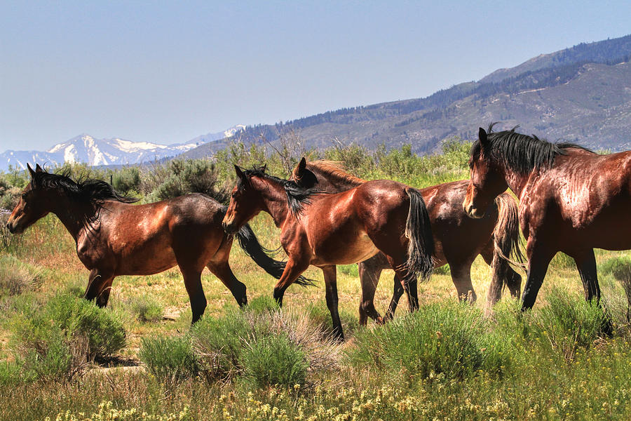 Wild Horses Of Nevada Photograph  - Wild Horses Of Nevada Fine Art Print