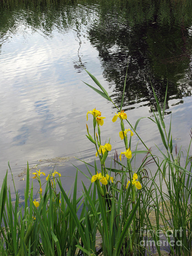Wild Iris By The Pond Photograph