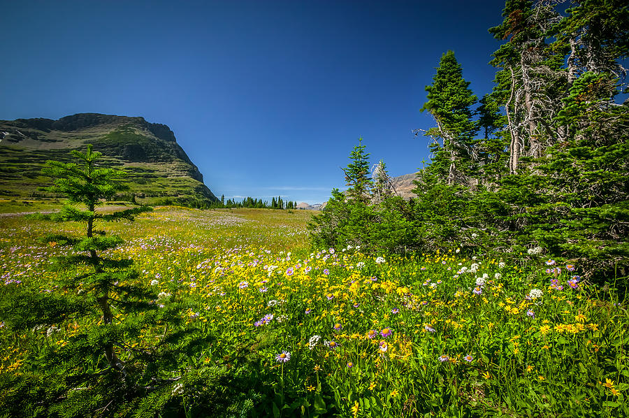 Wild Mountain Flowers Glacier National Park   Photograph