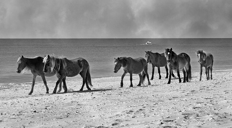 Wild Mustangs Of Shackleford Photograph