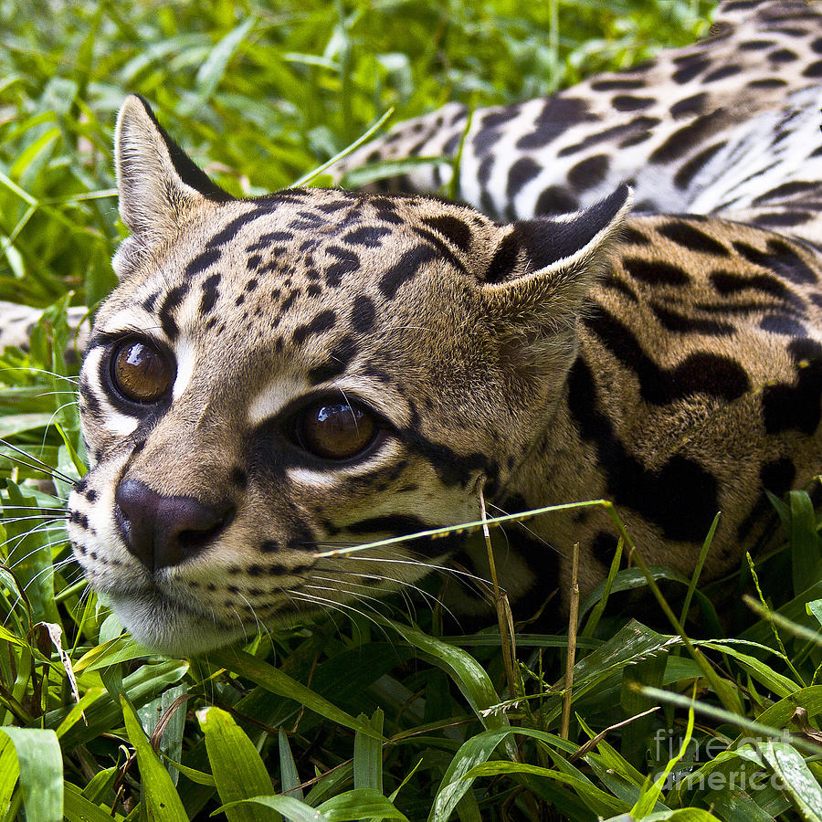 Wild Ocelot is a photograph by Heiko Koehrer-Wagner which was uploaded ...