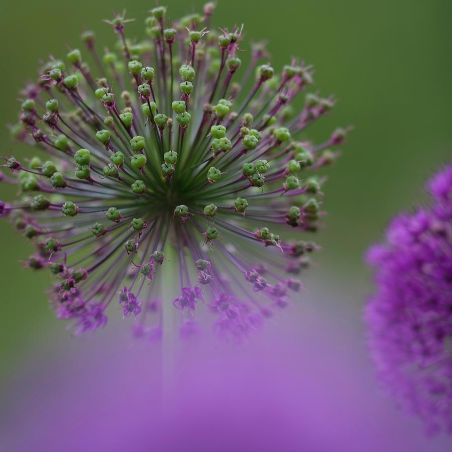 Allium Photograph - Wild Onion by Heiko Koehrer-Wagner