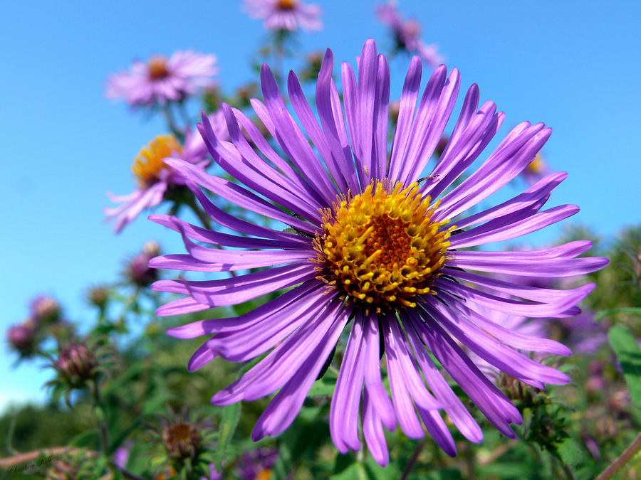 Bright Photograph - Wild Purple Aster by Christina Rollo