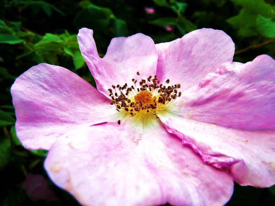 Wild Rose Photograph