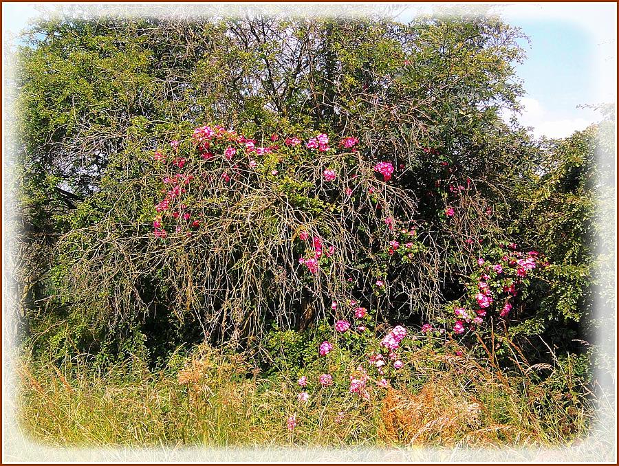 Wild Roses Different Angle Photograph