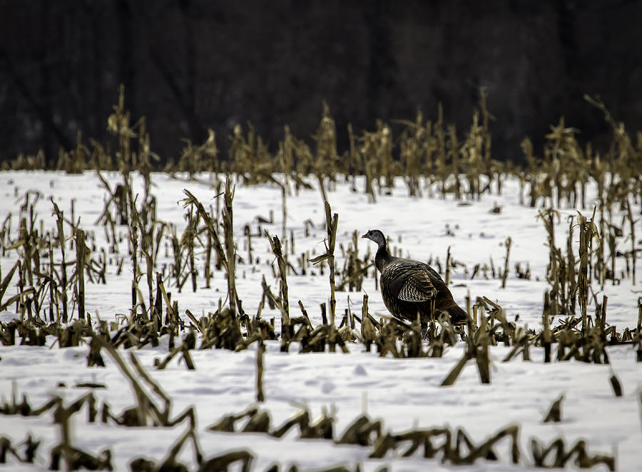 Wild Turkey In The Corn Photograph