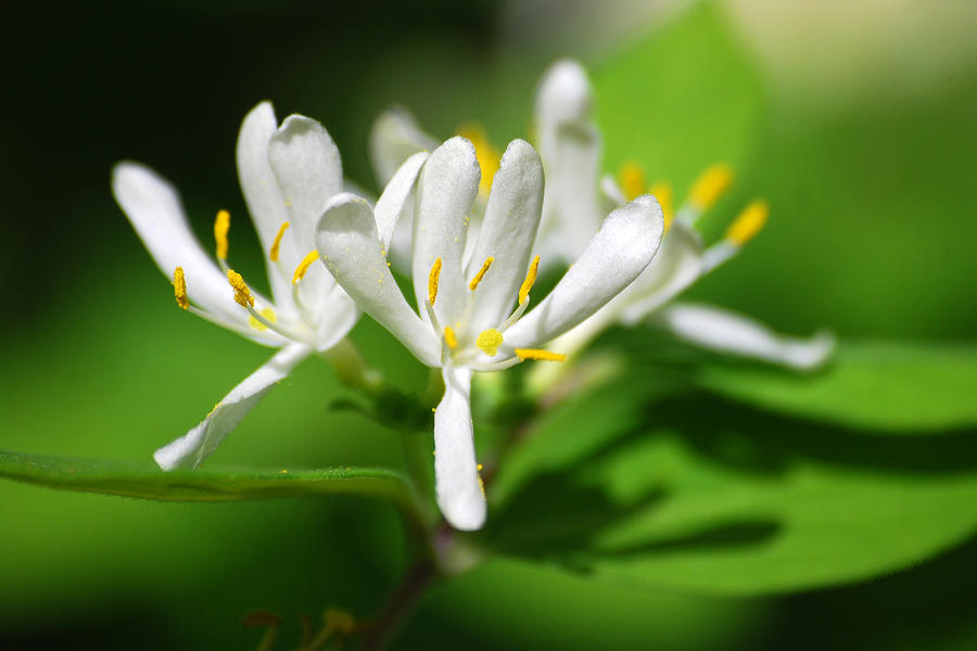 Wild White Honeysuckle Flowers Photograph