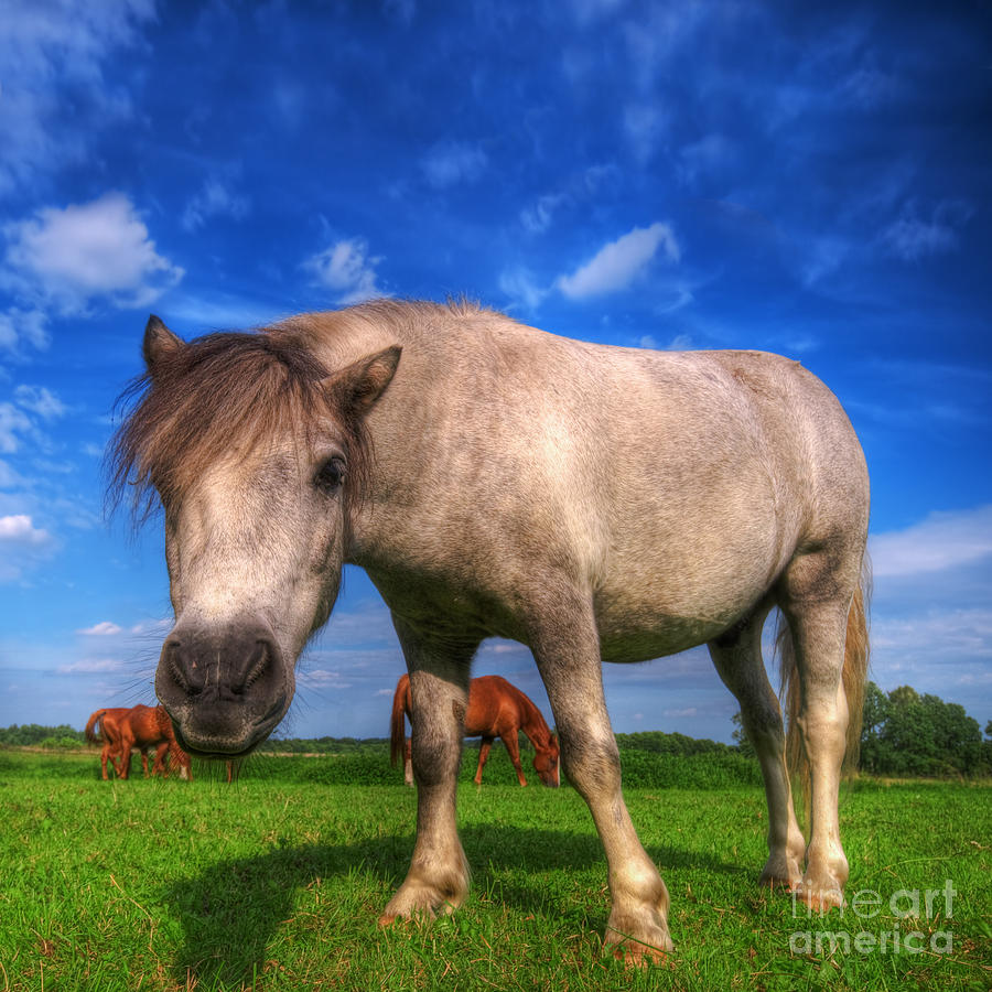 Wild Young Horse On The Field Photograph  - Wild Young Horse On The Field Fine Art Print
