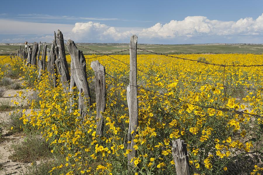 Wildflowers Surround Rustic Barb Wire Photograph