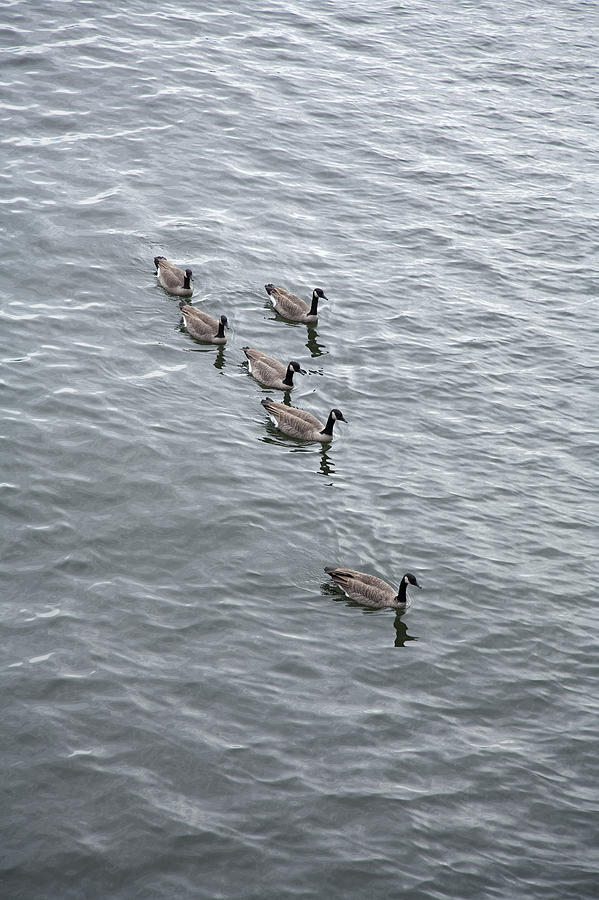 Animal Photograph - Willamette River Ducks by Peter French