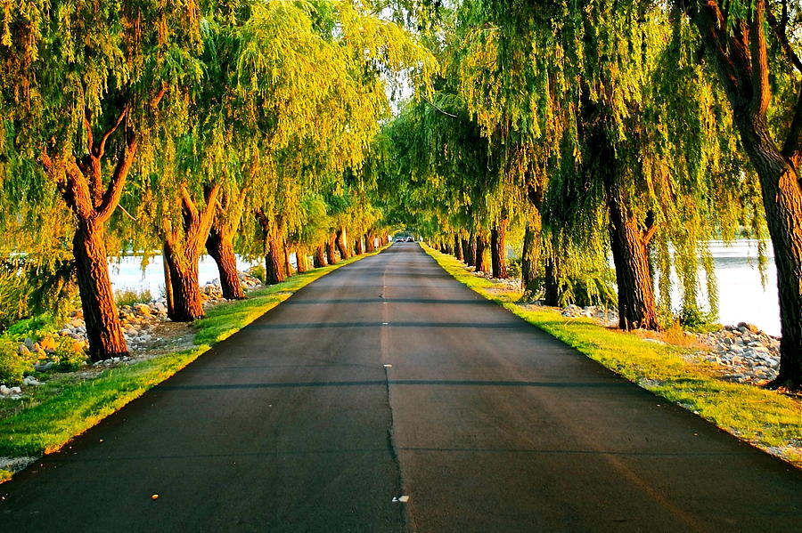 Willow Tree Lane Photograph  - Willow Tree Lane Fine Art Print