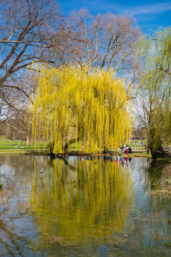 Willow Tree Water Reflection Photograph  - Willow Tree Water Reflection Fine Art Print