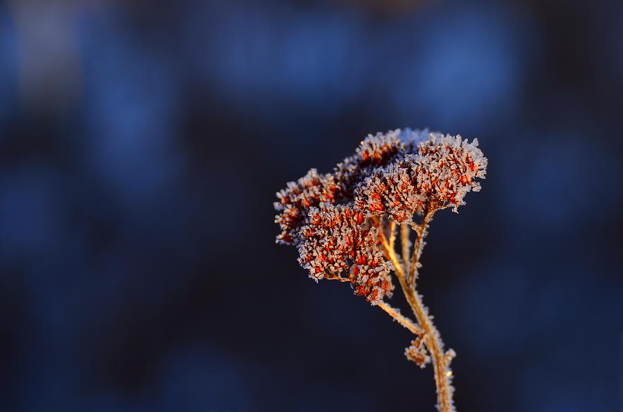 Wilted Frozen Flower Photograph  - Wilted Frozen Flower Fine Art Print